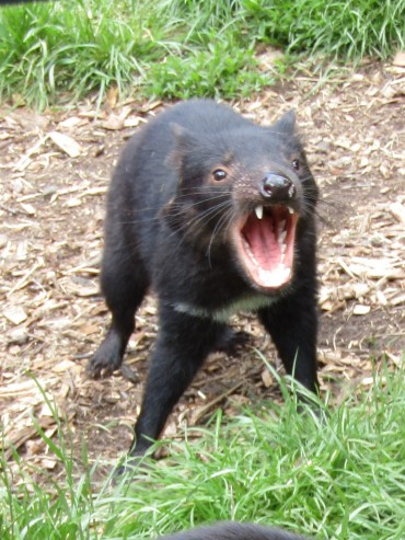 Tasmanian devil saying hi