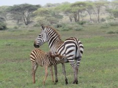 Zebra suckling