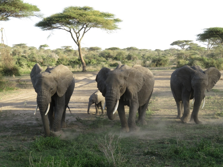 Elephants doing the dust dance