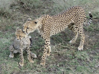 Gorgeous cheetah and cub