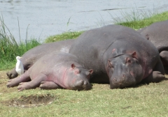 Hippo mom and calf