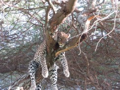 We watched this leopard for an hour and a half...