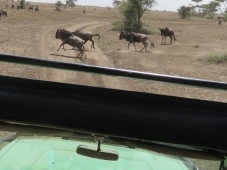 Wildebeests have the right of way!