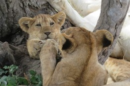 Touching moment mom to cub