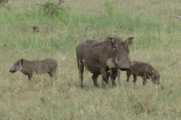 Warthog babes