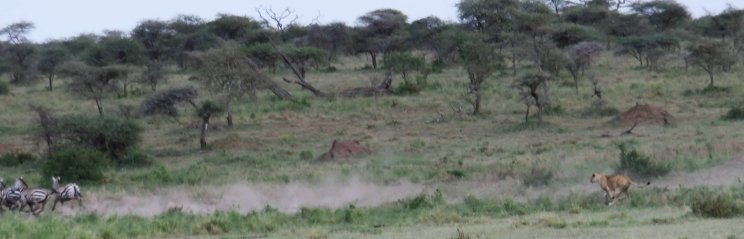 This lioness had lousy timing as her zebra prey dashed away