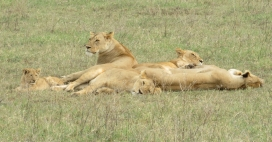 A beautiful pride on our last day had three cubs