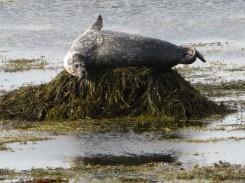 Snaefellsnes Peninsula seal
